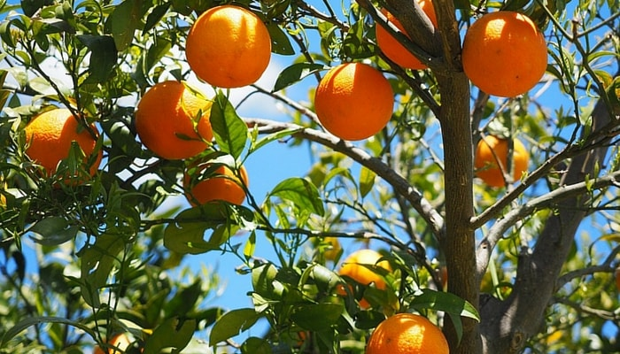 Orange trees in Spain