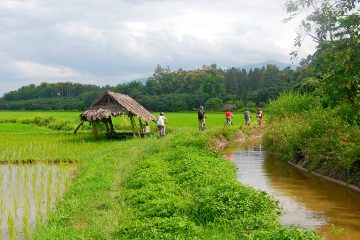 A group cycling through a rice field