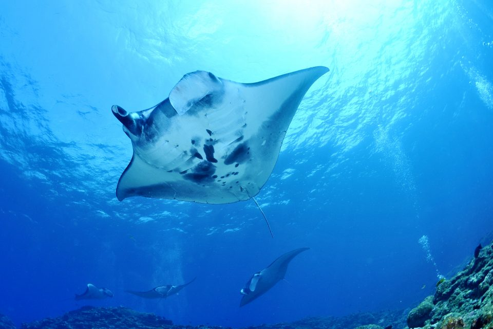 Upwards view of manta rays in clear waters