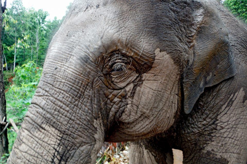 Close up of an elephant's face